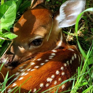 Fawn - Courtesy of Ontario Wanderer